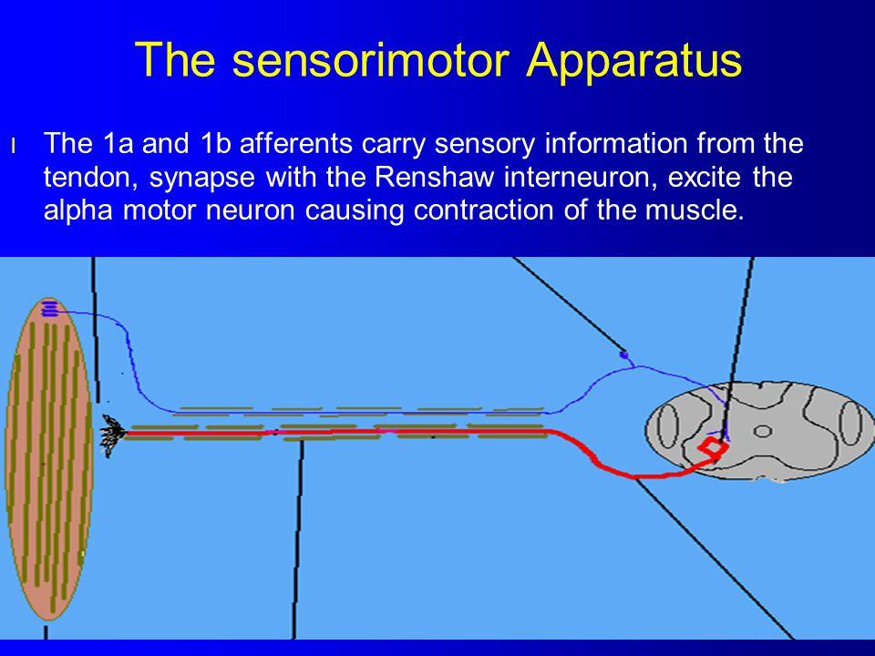 The sensorimotor Apparatus