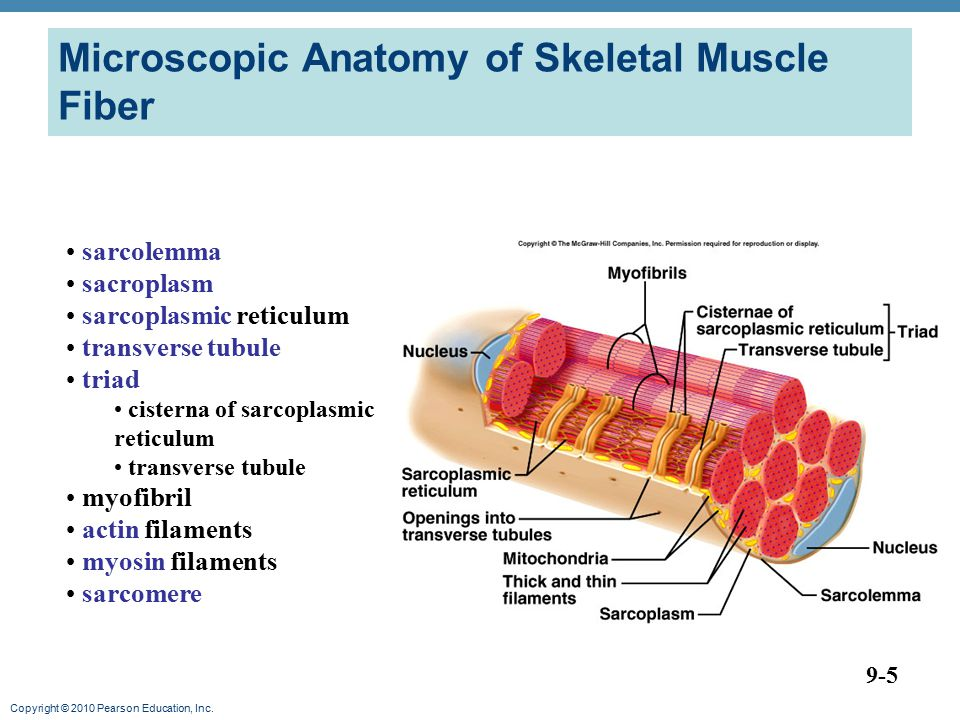 Microscopic Anatomy of Skeletal Muscle Fiber