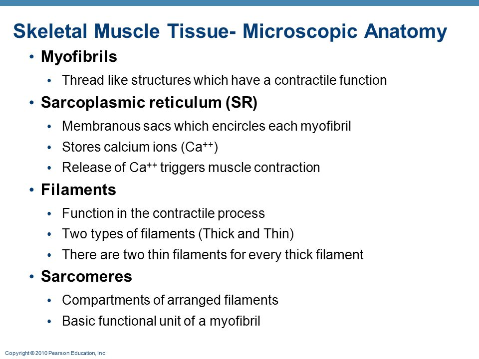 Skeletal Muscle Tissue- Microscopic Anatomy