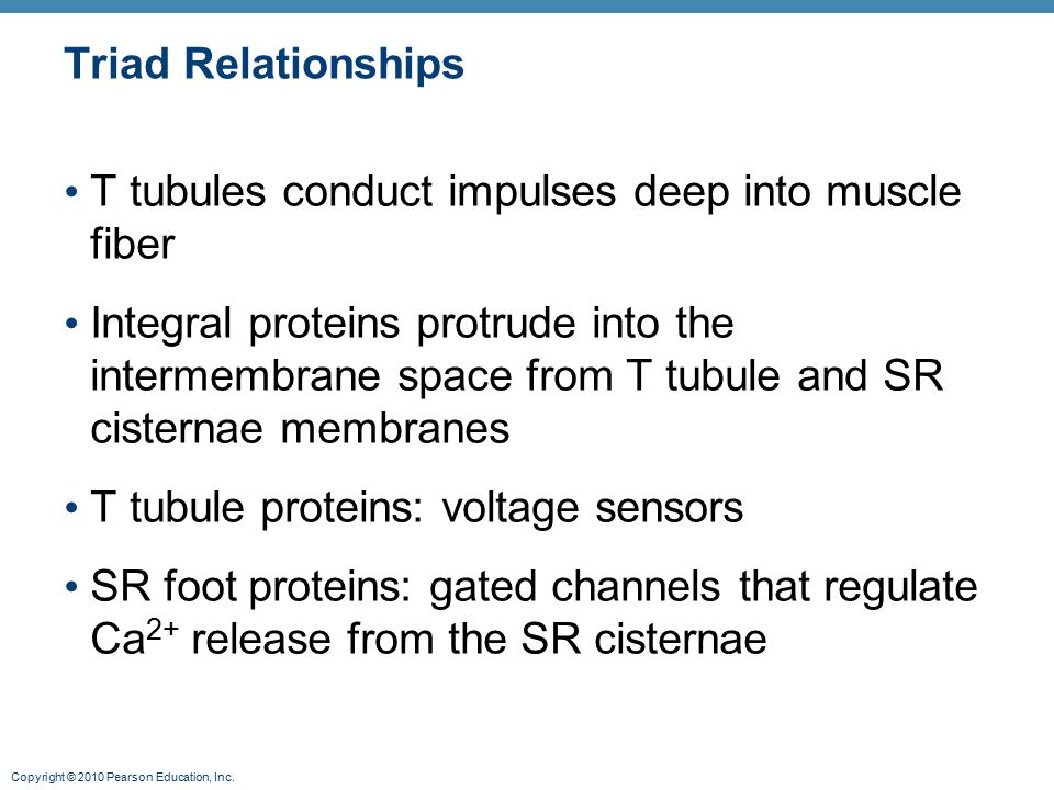 Triad Relationships T tubules conduct impulses deep into muscle fiber.