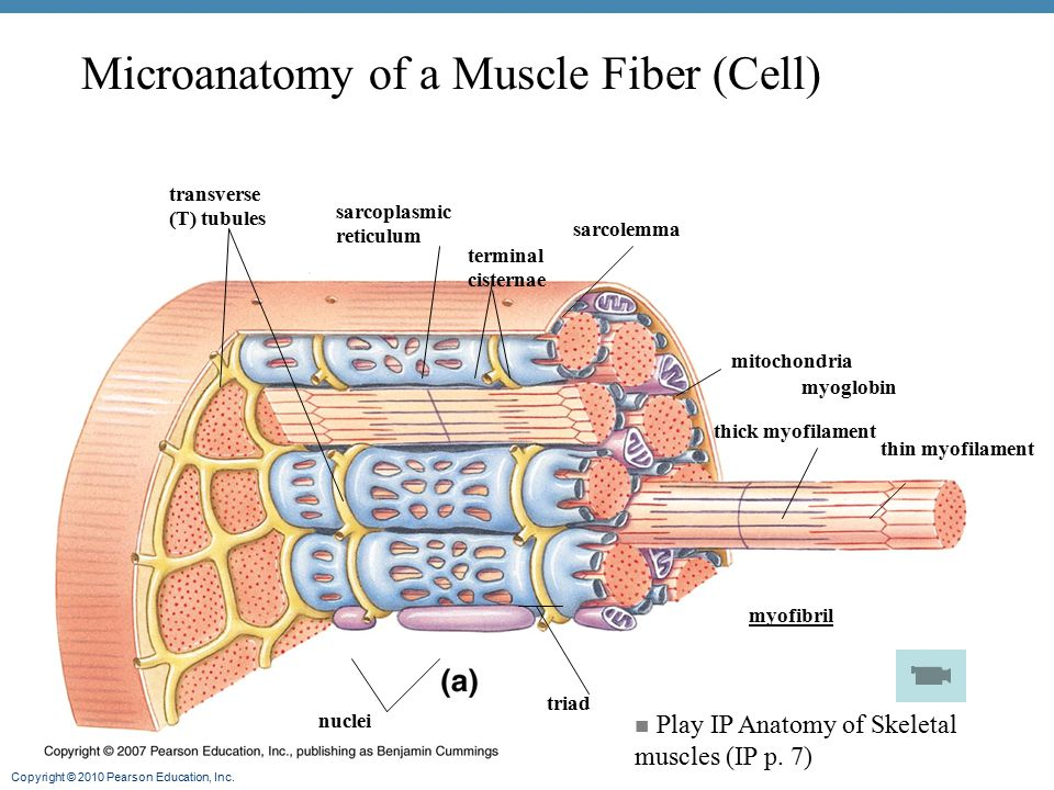 Microanatomy of a Muscle Fiber (Cell)