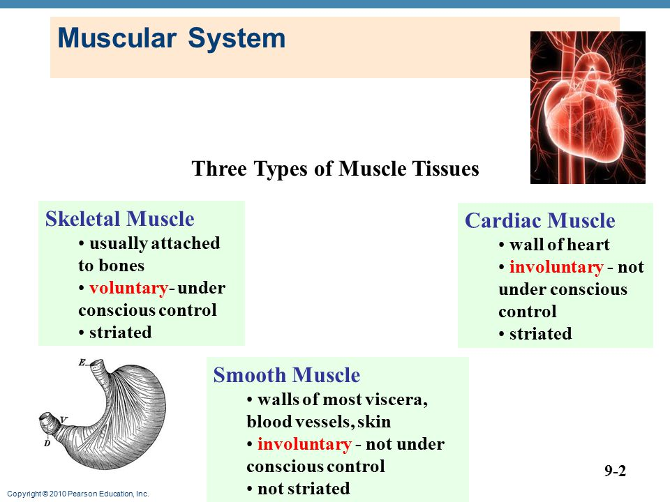 Muscular System Three Types of Muscle Tissues Skeletal Muscle
