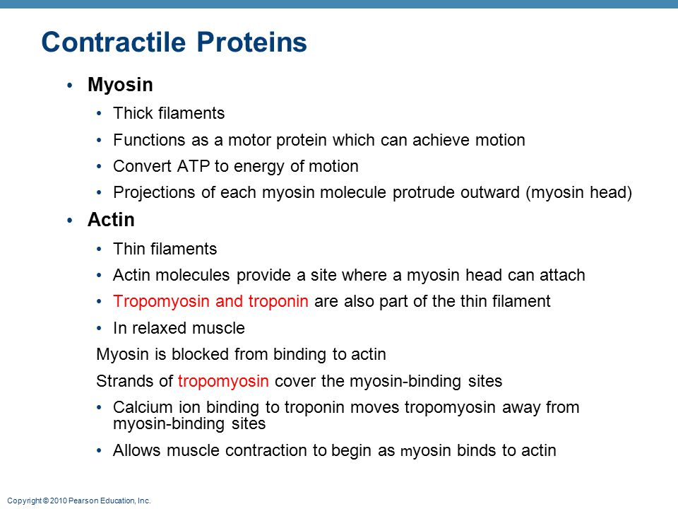 Contractile Proteins Myosin Actin Thick filaments