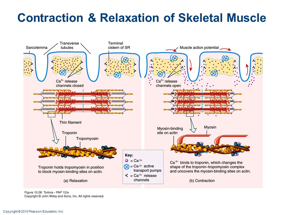 Contraction & Relaxation of Skeletal Muscle