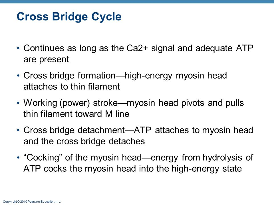 Cross Bridge Cycle Continues as long as the Ca2+ signal and adequate ATP are present.
