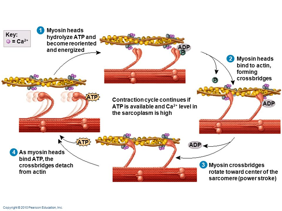 1 Myosin heads. hydrolyze ATP and. become reoriented. and energized. Myosin heads bind to actin,
