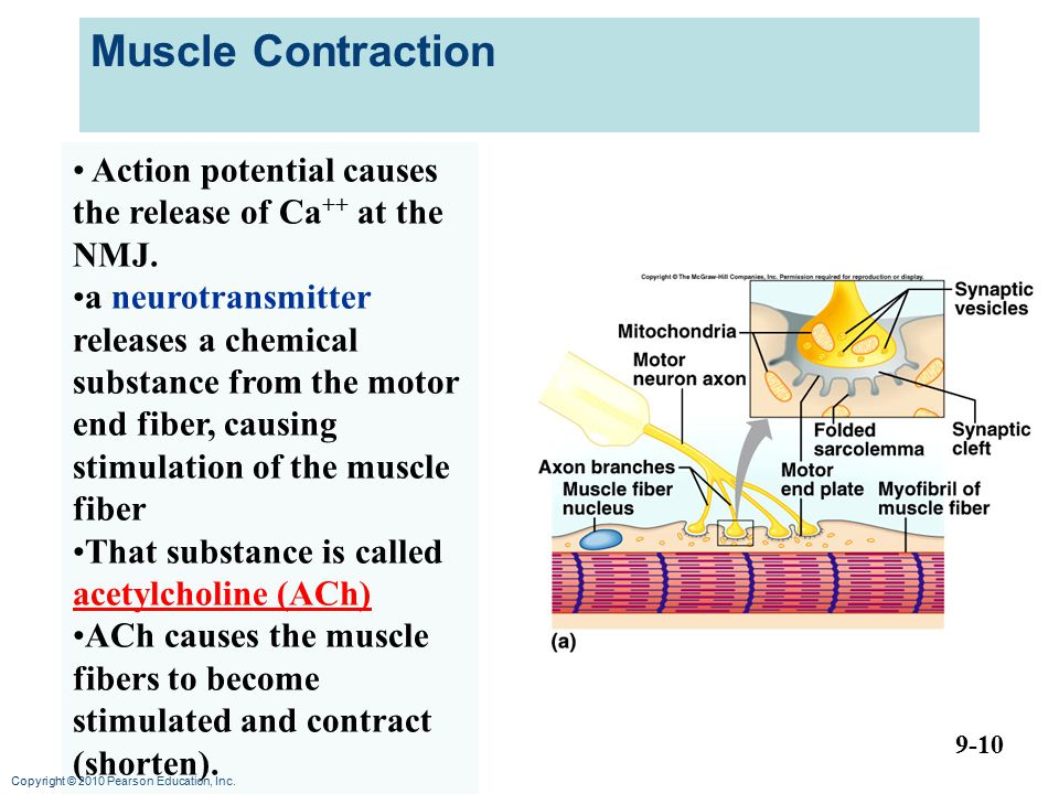 Muscle Contraction Action potential causes the release of Ca++ at the NMJ.