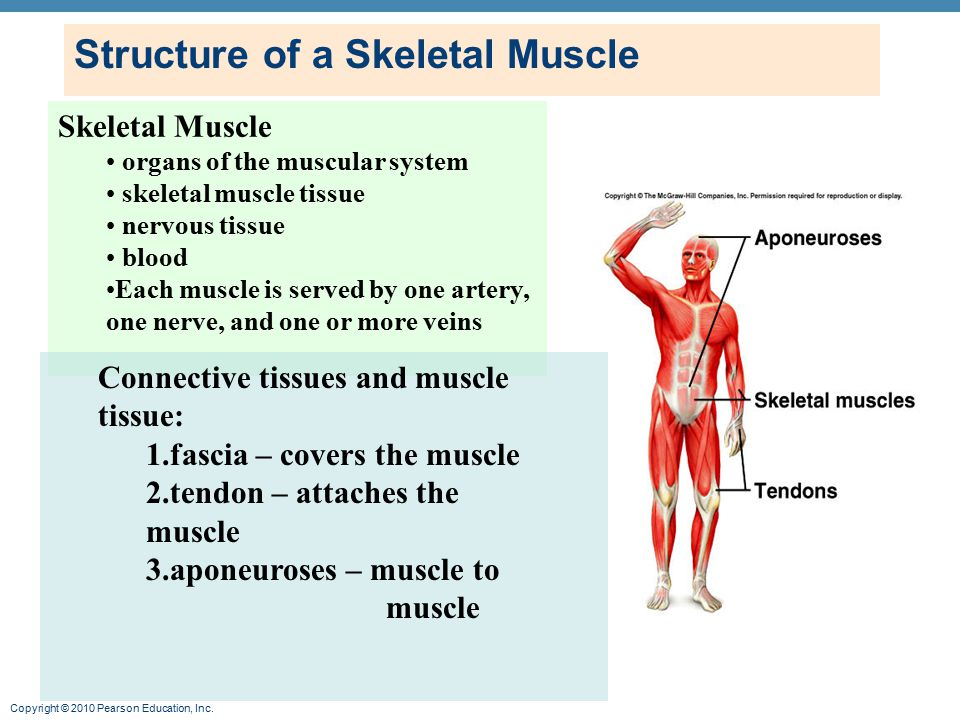 the structure of skeletal muscle biology essay Short, helpful video on the topic of muscle contraction by top ap us biology teacher there you go, the structure of the skeletal muscle fiber if you get an essay on muscle contraction.