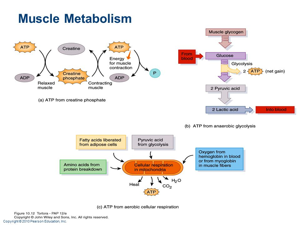 muscle metabolism Muscle mass and metabolism many different factors affect your metabolism, including genetics, and some people burn calories more easily than others.