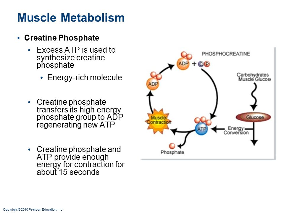 Muscle Metabolism Creatine Phosphate