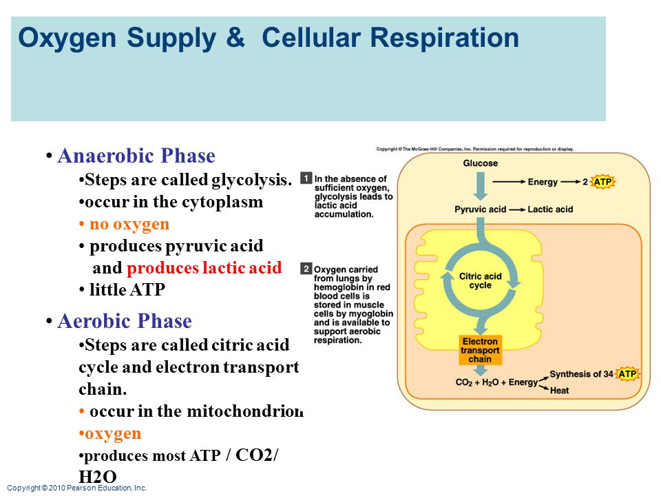Oxygen Supply & Cellular Respiration