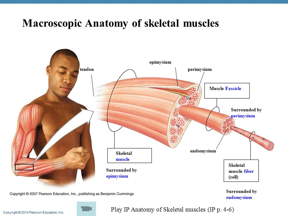 Macroscopic Anatomy of skeletal muscles