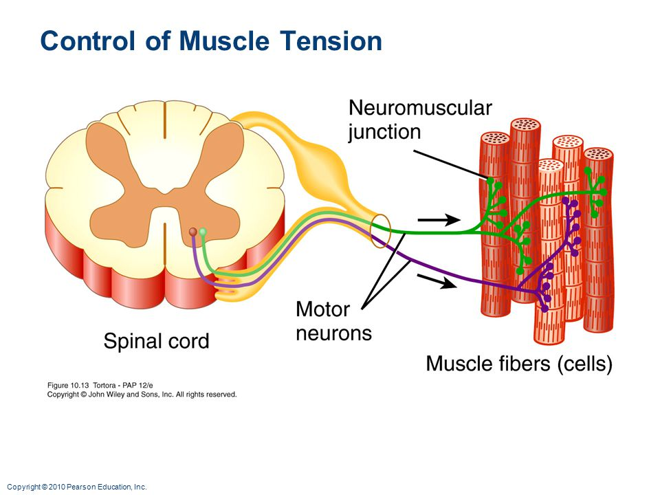 Control of Muscle Tension