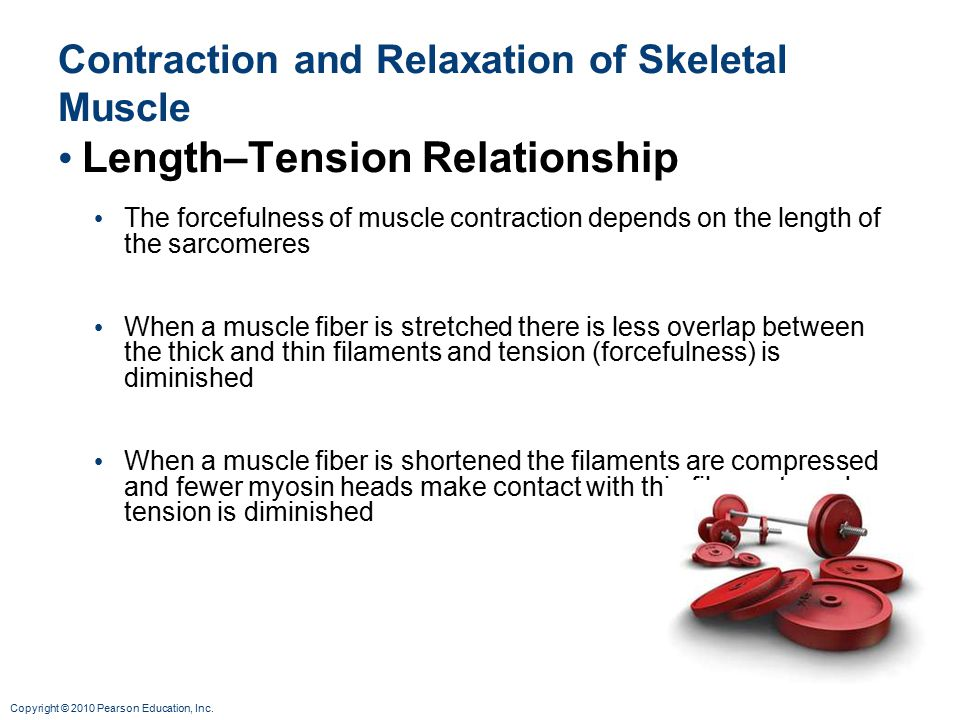 Contraction and Relaxation of Skeletal Muscle