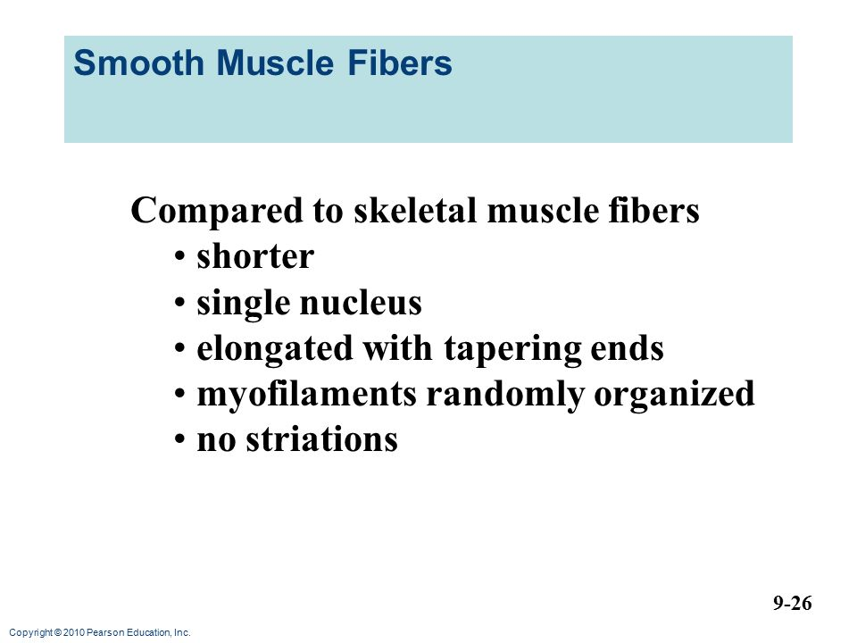 Compared to skeletal muscle fibers shorter single nucleus