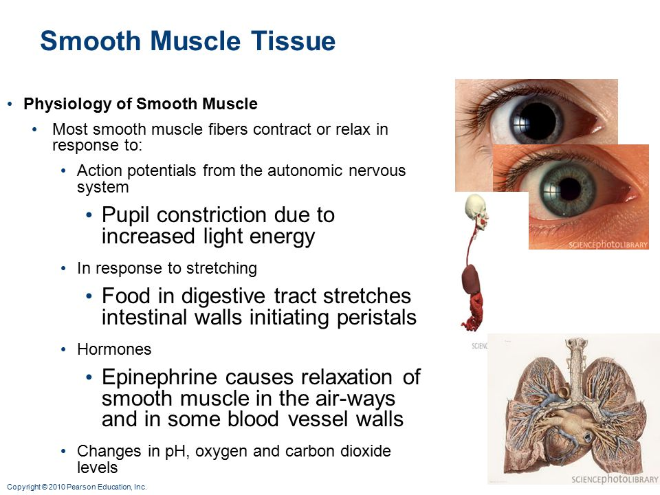 Smooth Muscle Tissue Pupil constriction due to increased light energy