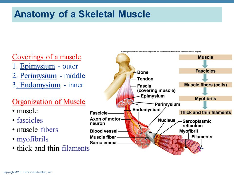 Anatomy of a skeletal muscle