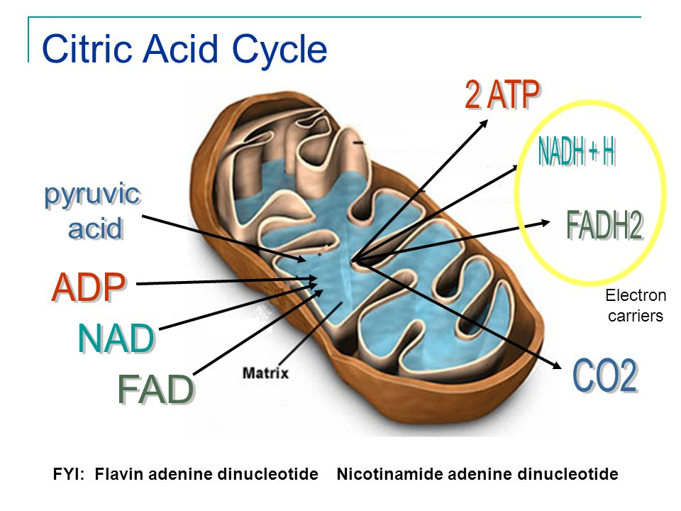 Citric Acid Cycle 2 ATP NADH + H pyruvic acid FADH2 ADP NAD CO2 FAD