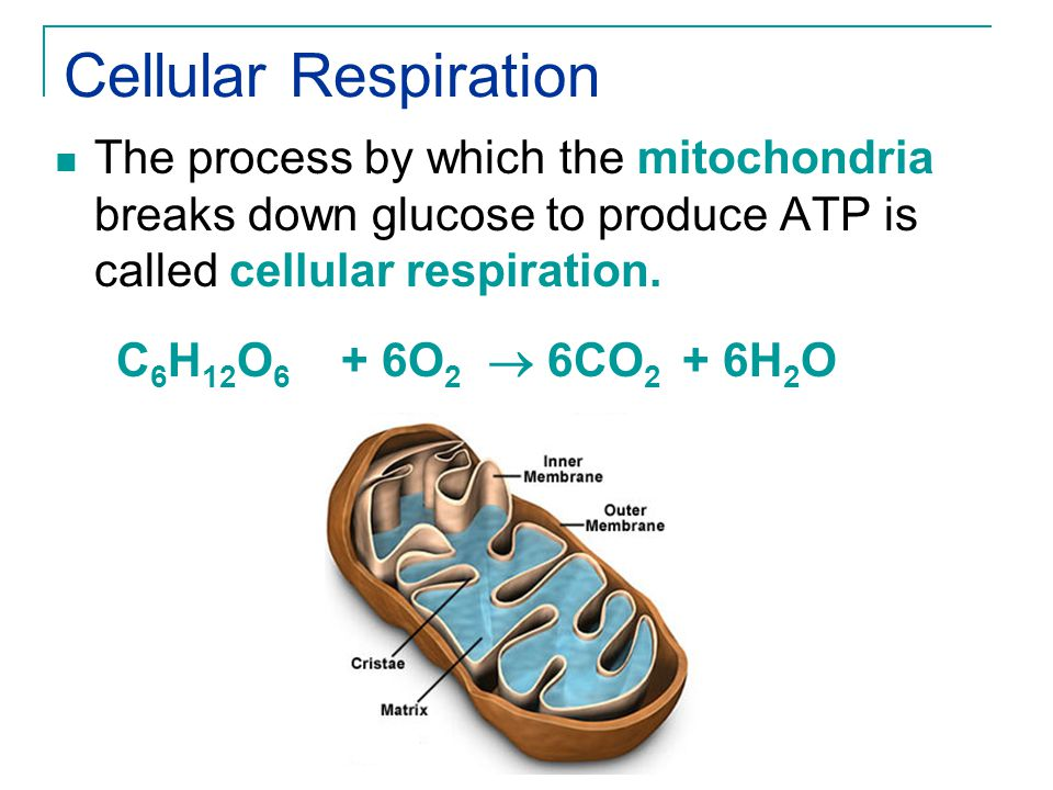 Cellular Respiration The process by which the mitochondria breaks down glucose to produce ATP is called cellular respiration.