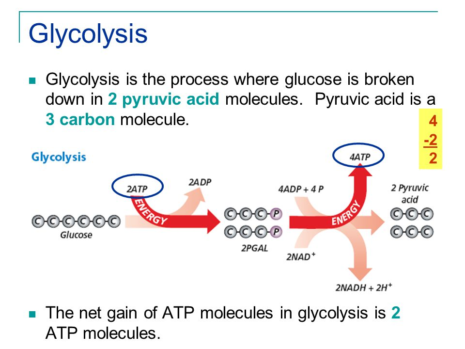Glycolysis Glycolysis is the process where glucose is broken down in 2 pyruvic acid molecules. Pyruvic acid is a 3 carbon molecule.