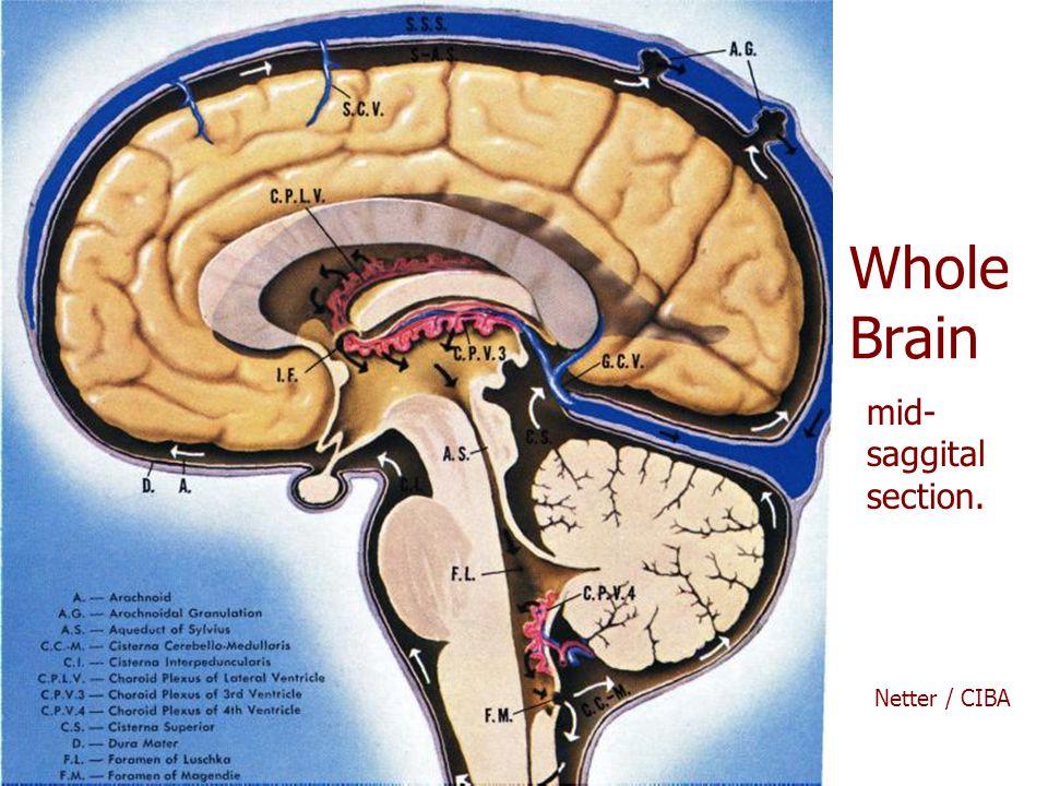 Whole Brain mid-saggital section. Netter / CIBA