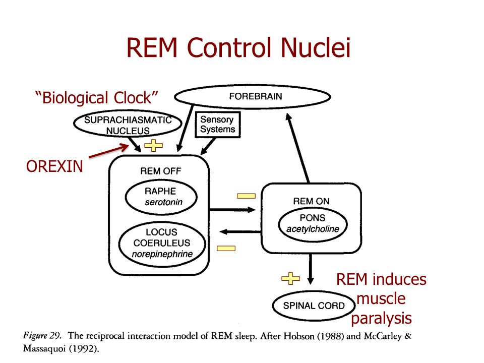 REM induces muscle paralysis