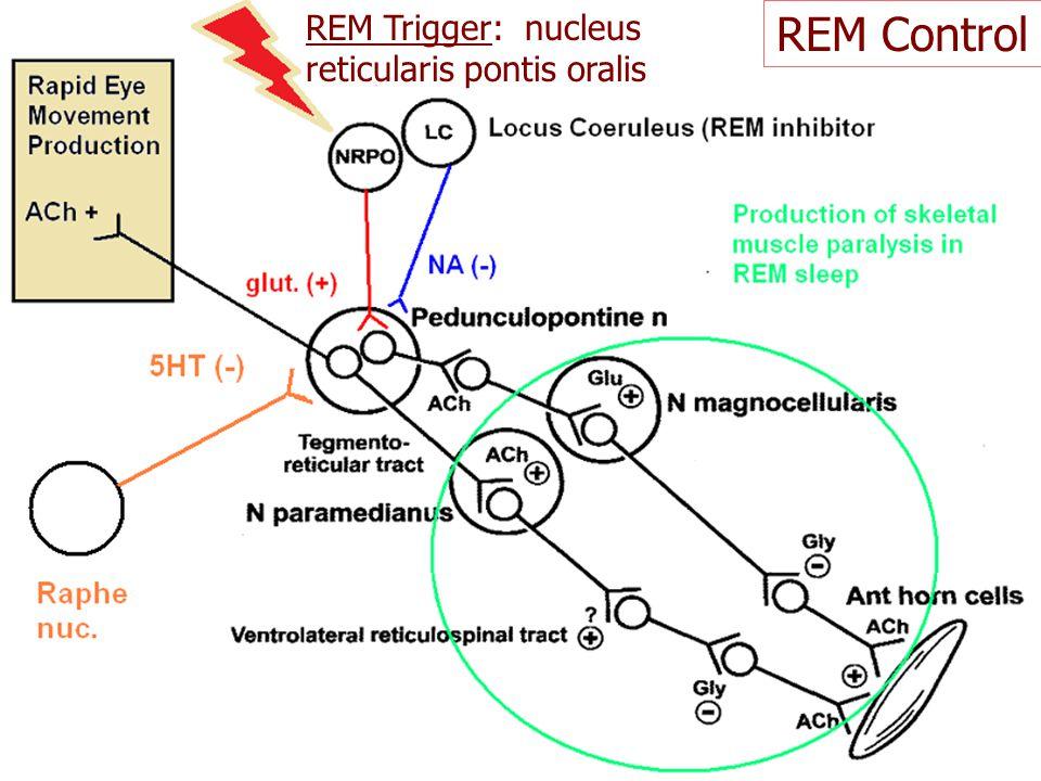REM Control REM Trigger: nucleus reticularis pontis oralis