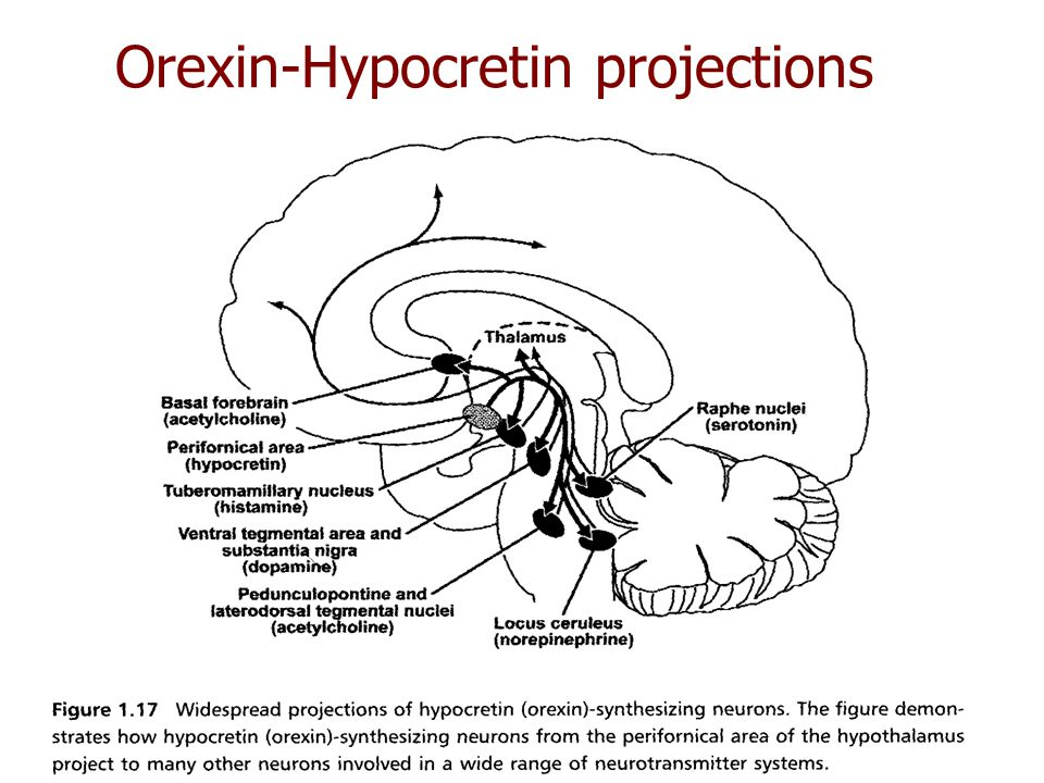 Orexin-Hypocretin projections