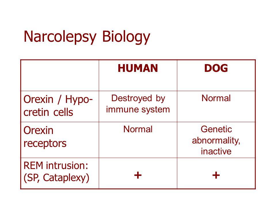 + Narcolepsy Biology HUMAN DOG Orexin / Hypo-cretin cells