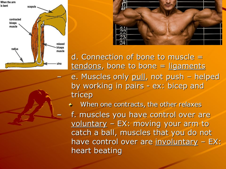 d. Connection of bone to muscle = tendons, bone to bone = ligaments