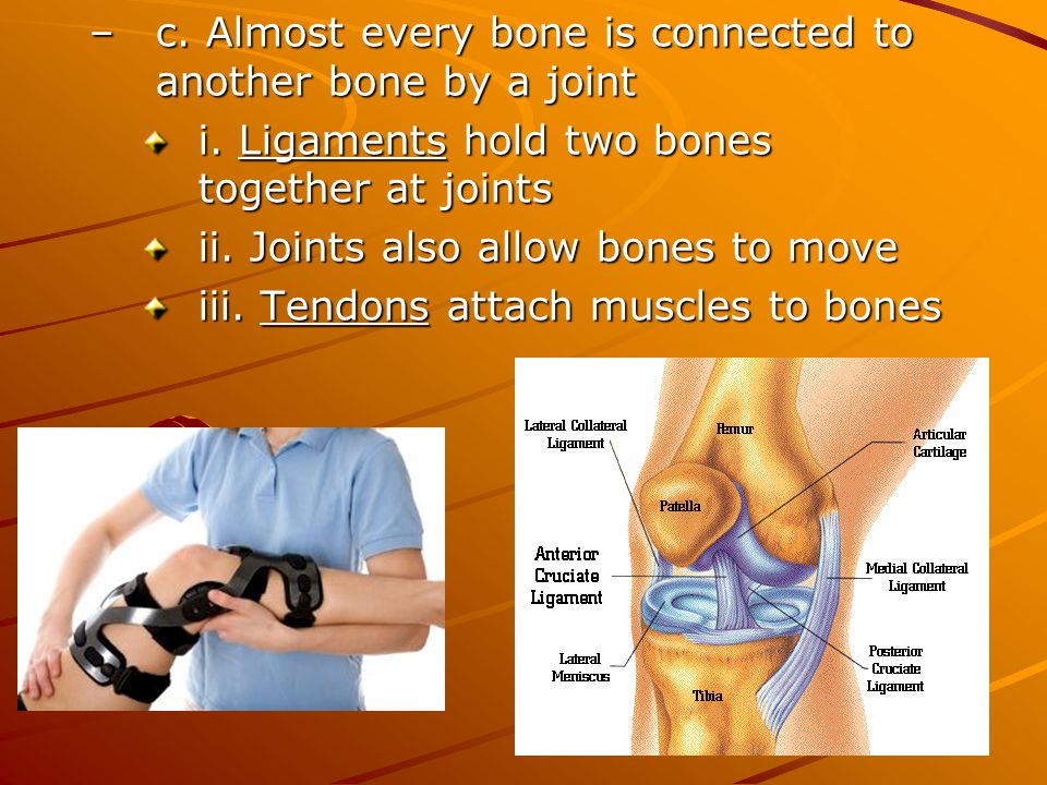 c. Almost every bone is connected to another bone by a joint