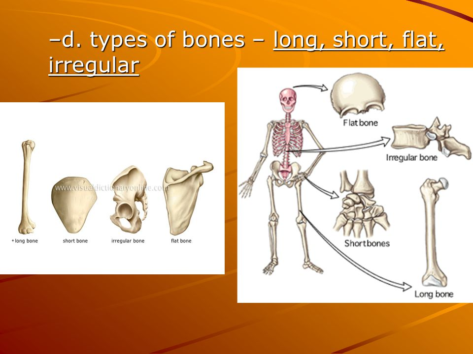 d. types of bones – long, short, flat, irregular