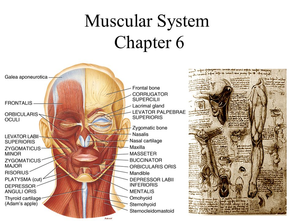 Muscular System Chapter 6