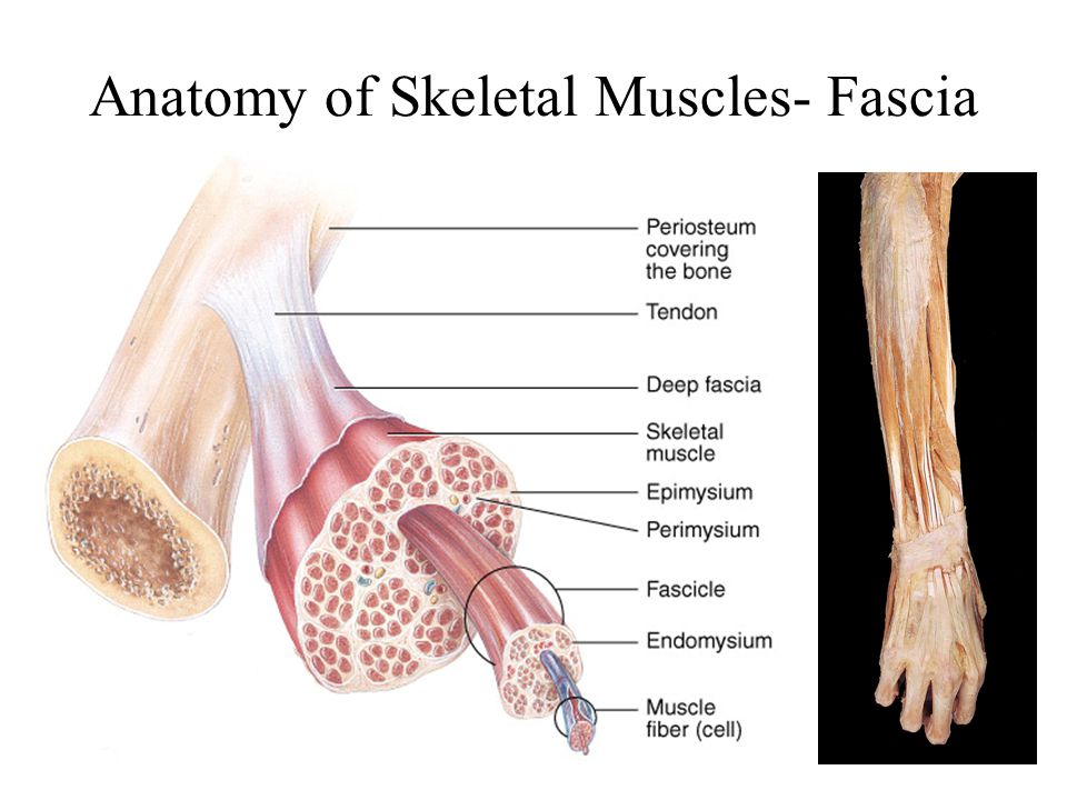 Anatomy of Skeletal Muscles- Fascia