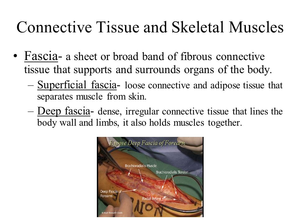 Connective Tissue and Skeletal Muscles