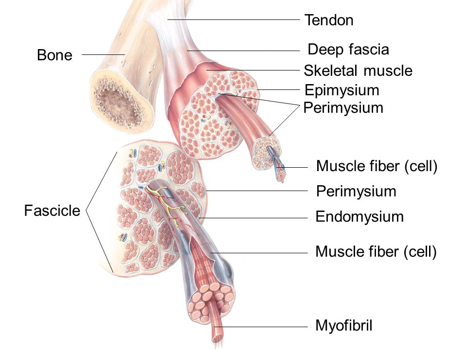 Tendon Deep fascia. Bone. Skeletal muscle. Epimysium. Perimysium. Muscle fiber (cell) Perimysium.