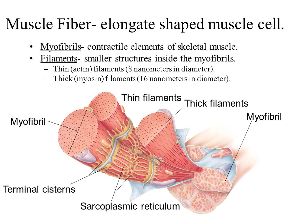 Muscle Fiber- elongate shaped muscle cell.