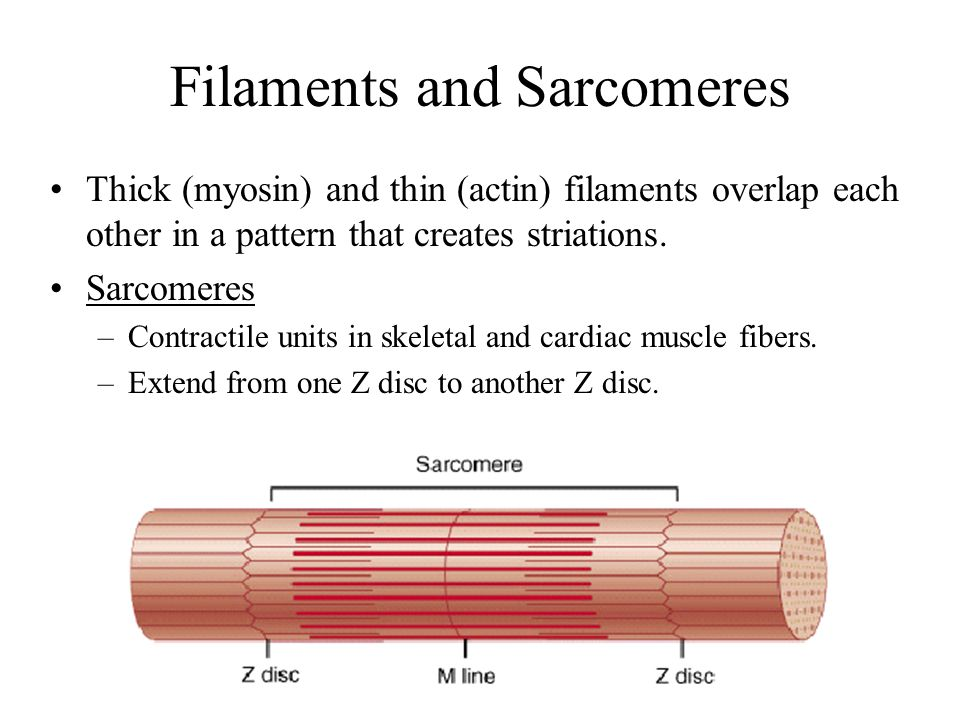 Filaments and Sarcomeres