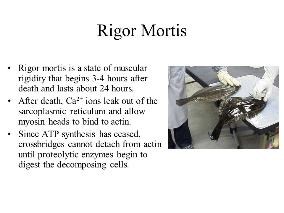 Rigor Mortis Rigor mortis is a state of muscular rigidity that begins 3-4 hours after death and lasts about 24 hours.