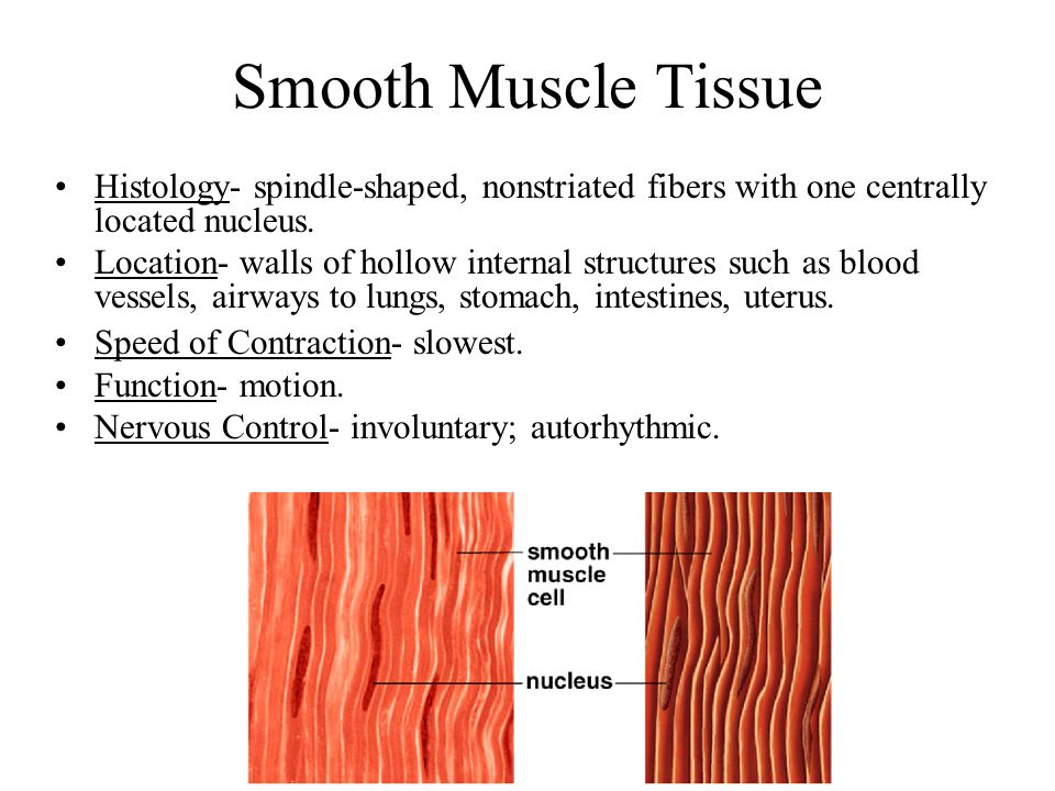Smooth Muscle Tissue Histology- spindle-shaped, nonstriated fibers with one centrally located nucleus.