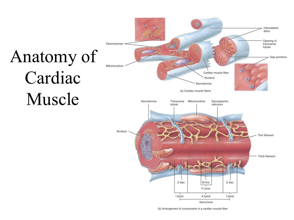 Anatomy of Cardiac Muscle