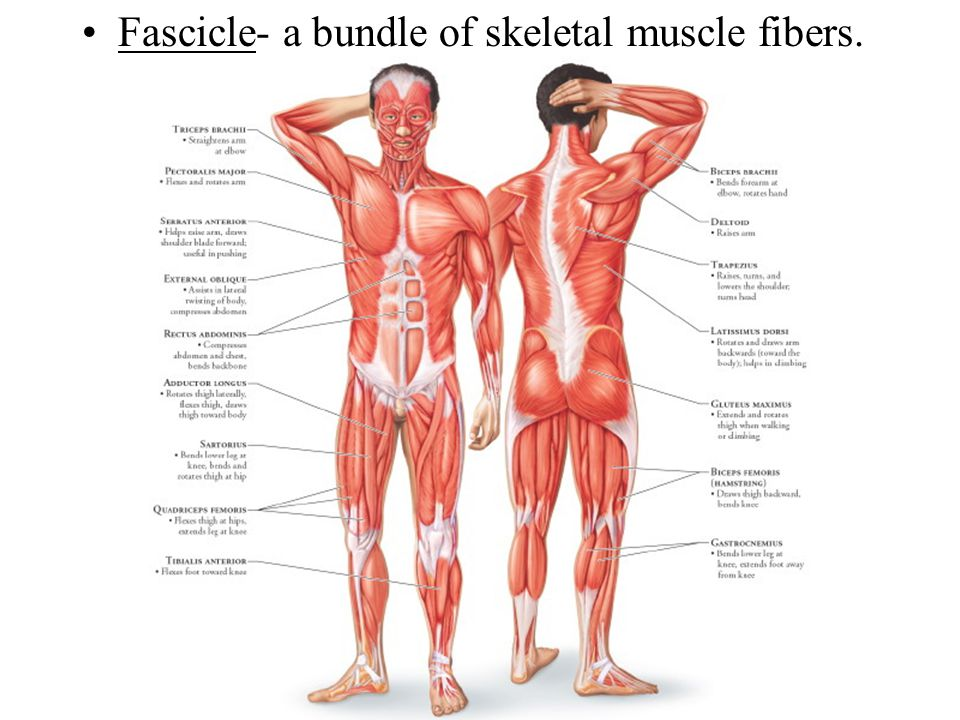 Fascicle- a bundle of skeletal muscle fibers.