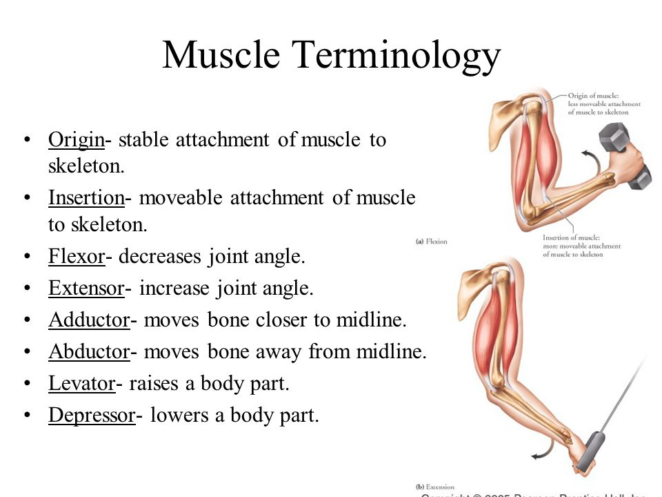 Muscle Terminology Origin- stable attachment of muscle to skeleton.