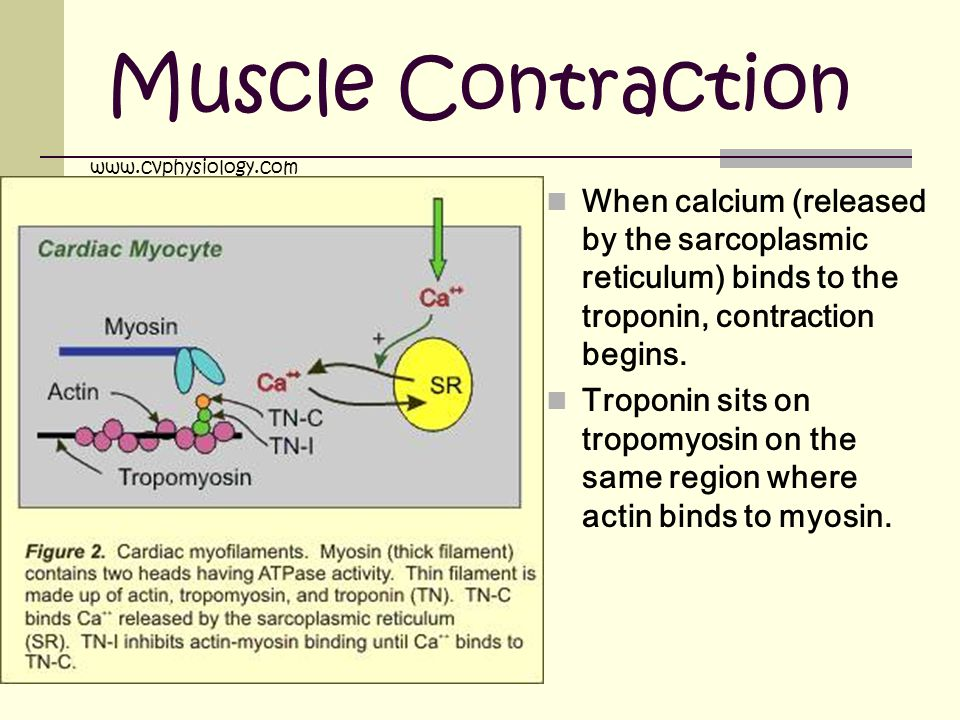 Muscle Contraction www.cvphysiology.com. When calcium (released by the sarcoplasmic reticulum) binds to the troponin, contraction begins.