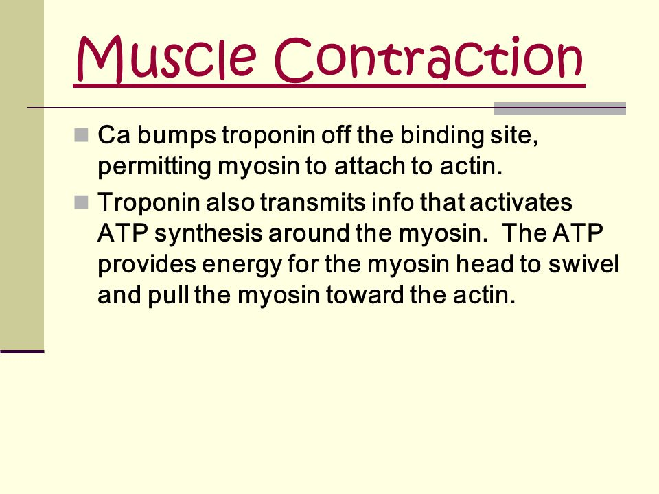 Muscle Contraction Ca bumps troponin off the binding site, permitting myosin to attach to actin.