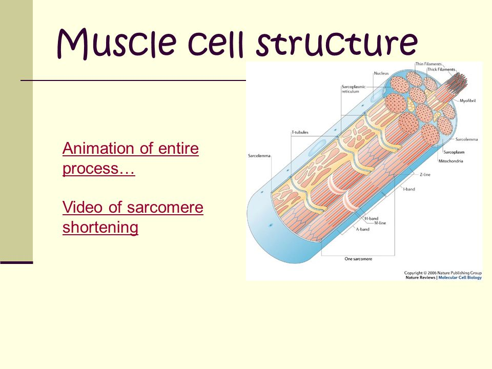 Muscle cell structure Animation of entire process…