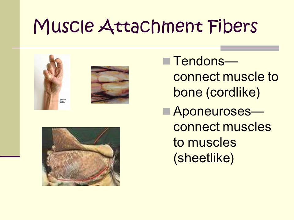 Muscle Attachment Fibers