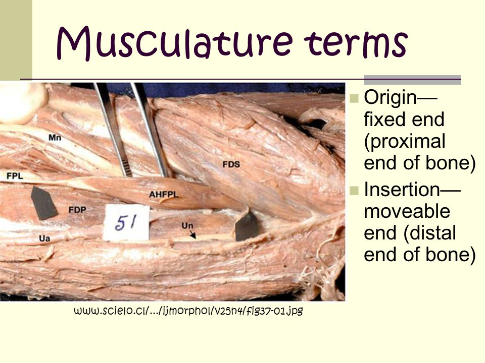 Musculature terms Origin—fixed end (proximal end of bone)