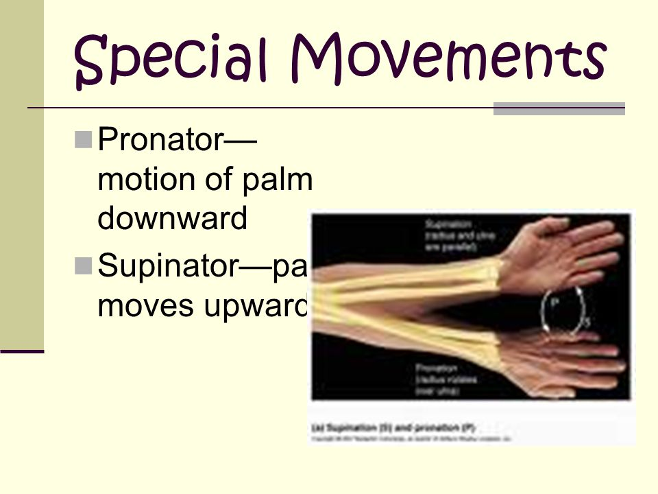 Special Movements Pronator—motion of palm downward