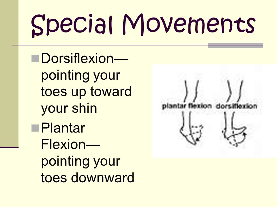 Special Movements Dorsiflexion—pointing your toes up toward your shin
